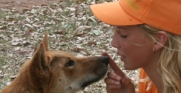 Junior Zookeeper, Reece, eye to eye with Shiloh the Dingo